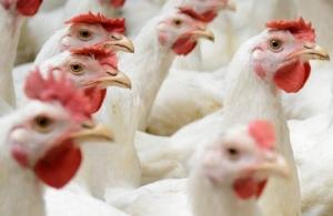 Algo bueno le esta sucediendo a la industria avicola