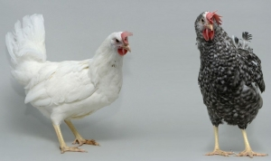 La transferencia de genes de aves de corral será posible en una generación